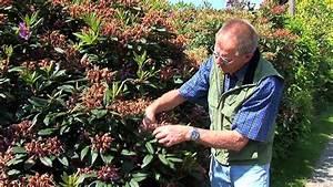 Hortensien Schneiden Anleitung : rhododendron und azaleen pflegen und schneiden garten ~ Lizthompson.info Haus und Dekorationen