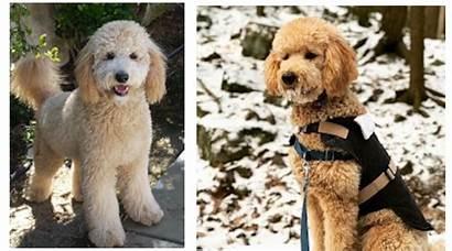 Goldendoodle Curly Coat Types Flat Coats Improper