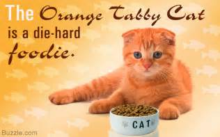 tabby cat facts 20 interesting facts about the beautiful orange tabby cat