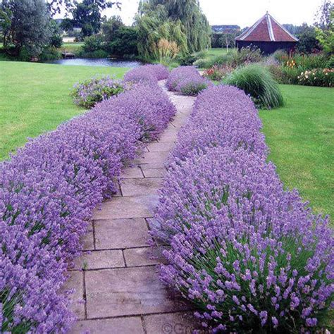 lavender bushes perennials lavender hidcote is one of our very best selling sun perennials where it makes the perfect low
