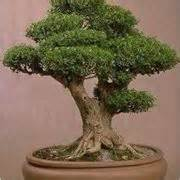 ficus ginseng Schede Bonsai bonsai ficus