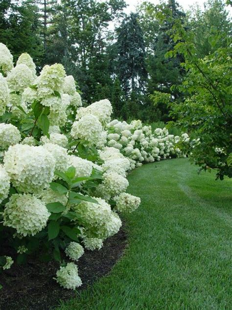 hydrangea border garden white hydrangea border the backyard needs a makeover pinterest gardens beautiful and
