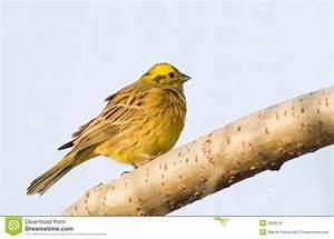 Oiseau Jaune Et Bleu : petit oiseau jaune sur le fond bleu photo stock image du mouche jaune 3928518 ~ Melissatoandfro.com Idées de Décoration