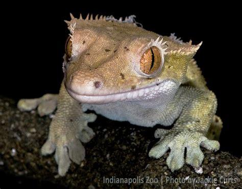 do leopard geckos shed their tails 143 best images about geckos lizards newts salamanders