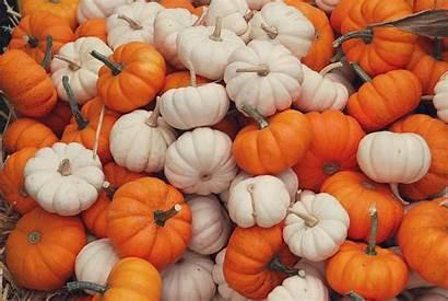 Pumpkins Mini Pumpkin Backgrounds Fall Aesthetic Wallpapers