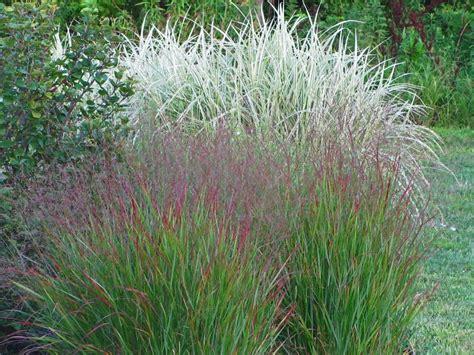 ornamental grasses dividing an ornamental grass the obsessive neurotic gardener
