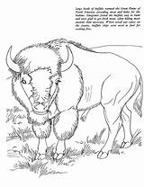 Coloring Buffalo Bison Animal Animals Cape Printable African Sheet Colorat Adult Oregon Trail Template Drawings Planse American Desene Bizon Native sketch template