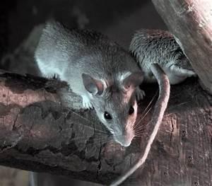 Comment Se Débarrasser Des Souris Dans Les Murs : comment proteger son habitation des rats et des souris ~ Melissatoandfro.com Idées de Décoration