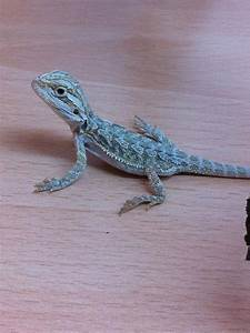 Blue Baby Bearded Dragons | www.imgarcade.com - Online ...