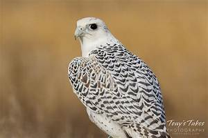 Arctic Gyrfalcon In Flight Top View Pictures to Pin on ...