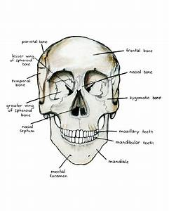 Bones Of The Skull  Anterior View