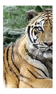 International Tiger Day: Help Tigers In The Wild - YouTube