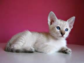 simese cats siamese cats images beautiful siamese hd wallpaper and