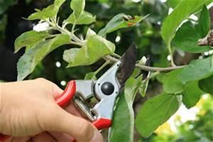 Apfelbaum Wann Schneiden : boskoop boskop apfelbaum pflanzen pflege und schneiden ~ Frokenaadalensverden.com Haus und Dekorationen