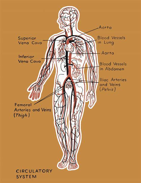 circulatory system organs   functions