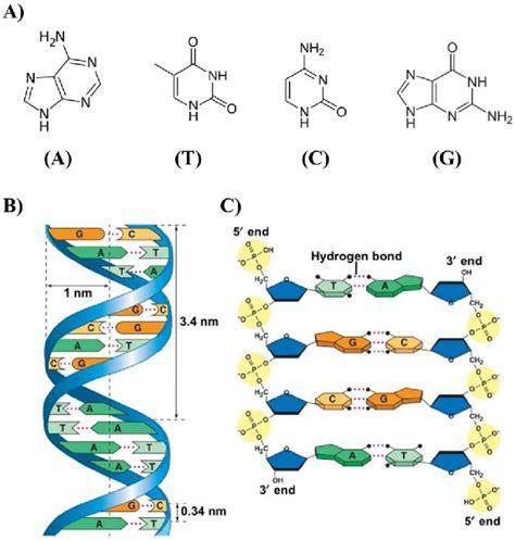 a adenine a thymine t cytosine c and guanine g of dna scientific diagram