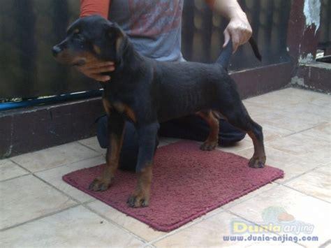 dunia anjing jual anjing rottweiler anjing rottweiler