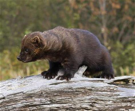 meet  fisher ontario  fur bearers protecting