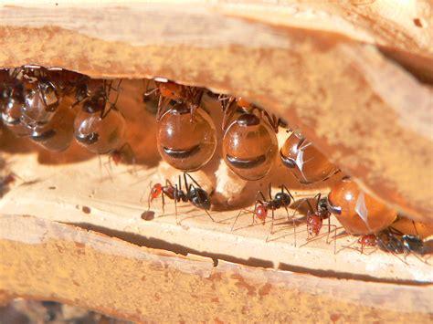 fourmis cuisine honeypot ant creepy animals
