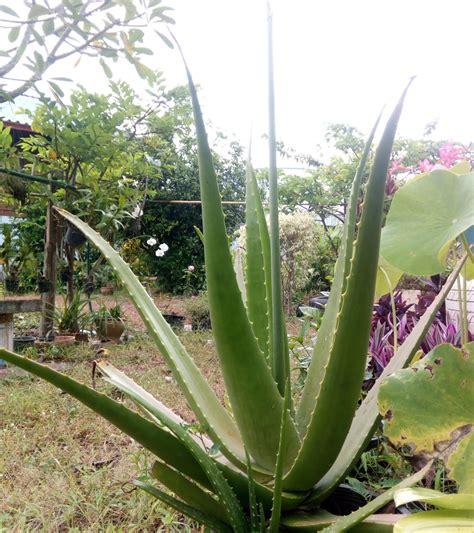 My Photo Travel and Learning: Lilium-Aloe-ว่านหางจระเข้ก็ ...