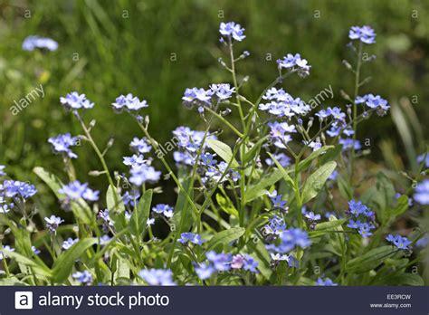 blume vergissmeinnicht bilder blume blumen bluete nahaufnahme natur pflanze schoenheit vergissmeinnicht aussen blau