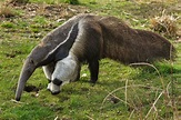 Giant anteater – Dallas World Aquarium