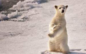 Baby Polar Bear Wallpapers - Wallpaper Cave
