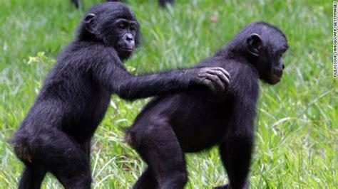 study bonobos talk   babies  cnn