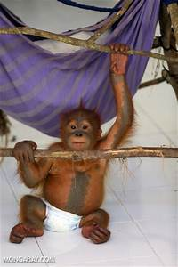 Baby orangutan in a diaper at a conservation center