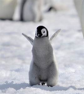 19 of the cutest baby penguin pictures you'll see