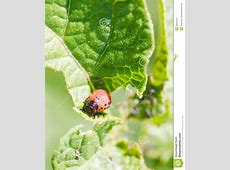 Caterpillar Of Potato Beetle Eats Potatoes RoyaltyFree