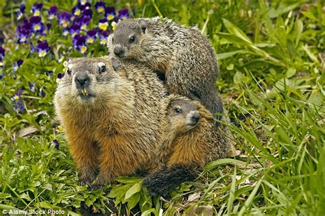 Was Kostet Holz by If A Woodchuck Could Chuck Wood It Would Get Through A