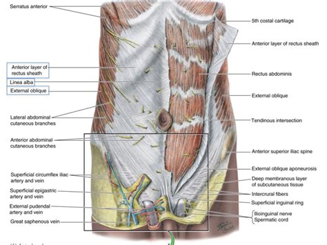 How skeletal muscles are named? L12 Skeletal Muscle Anatomy at University of Michigan ...