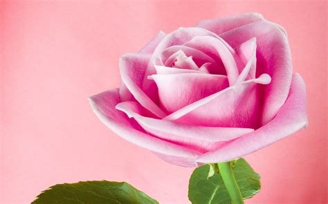 Animated Roses Wallpaper - swank animated wallpapers excellent animated