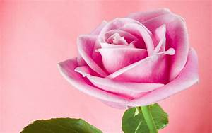 Swank Animated Rose Wallpapers Excellent Animated Rose ...