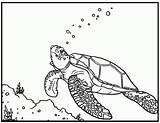 Coloring Sea Turtles Turtle Printable Popular sketch template