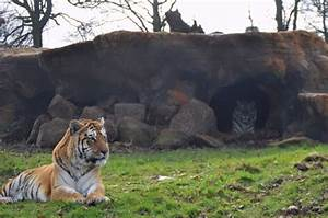 Tigers Explore New Enclosure | Blair Drummond Safari Park
