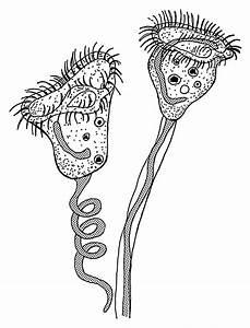 Glockentierchen  U2013 Wikipedia