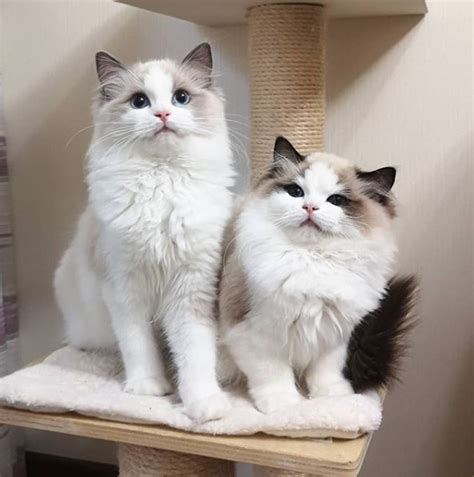 ragdoll cats reasons pets dogs better than why petpress source