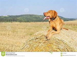 Hungarian pointer viszla on the harvested field on a hot for Dog day sitting