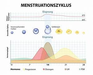 Schwangerschaftswoche Berechnen Nach Eisprung : der weibliche zyklus diagnostics startseite ~ Themetempest.com Abrechnung