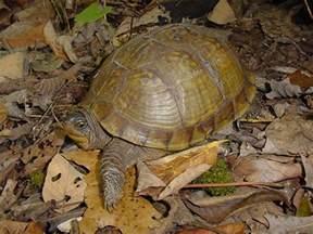 Three Toed Box Turtle Missouri