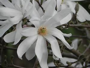 Baum Mit Weißen Blüten : sternmagnolie meine gartengestaltung ~ Michelbontemps.com Haus und Dekorationen