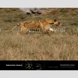 Prehistoric Predators Bear Dog | 738 x 591 jpeg 94kB