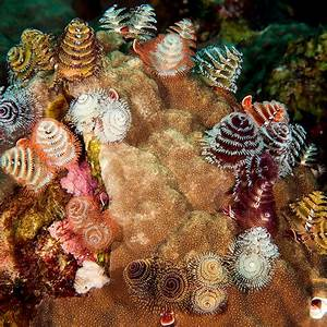 What are Christmas tree worms?