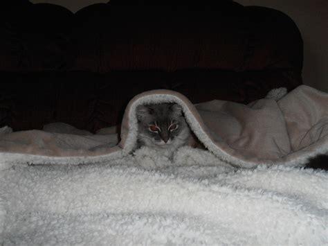 cat  blanket animal