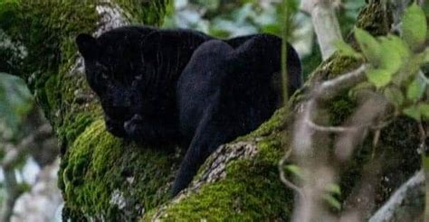 The #marvelstormbreakers unleashed their extraordinary talents on these black panther #25 fine arts. Black panther spotted by forest officer in Karnataka | India News | English Manorama