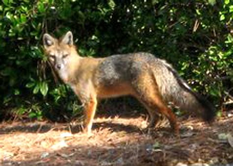 Coyote Fox wild   seabrook island  fox 2520 x 1800 · jpeg