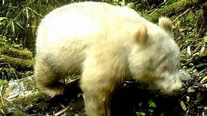 Rare Albino Panda Photographed Roaming The Wild In China