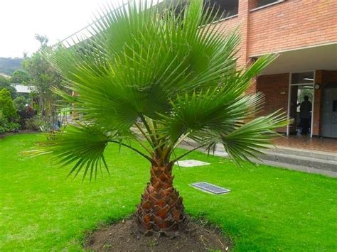 planting fan palm trees giant 4 5ft hardy fan palm washingtonia robusta